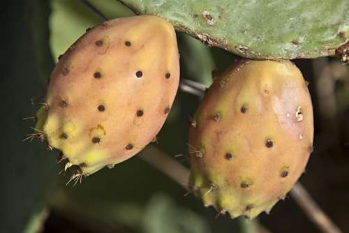 Figs Wild Figs Cactus Figs Close Up Plant Fruit