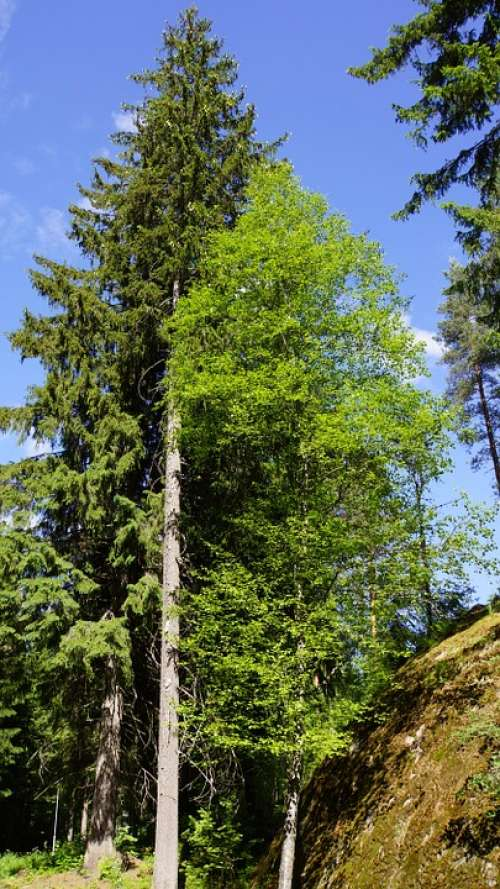 Finnish Summer Forest Conifer Deciduous Tree Six