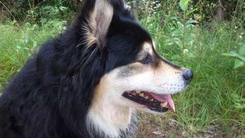Finnish Lapphund Dog Tip