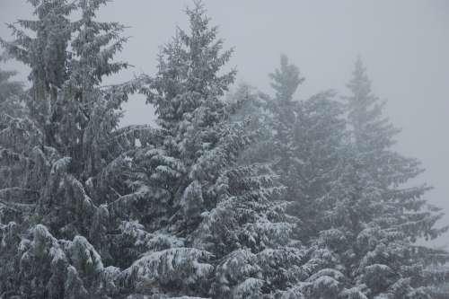 Fir Snow Winter Landscape