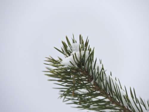 Fir Tree Branch Needles Conifer Tree Nature Macro