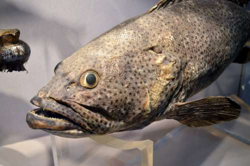Fish Face Fish Face Animal Taxidermy Display