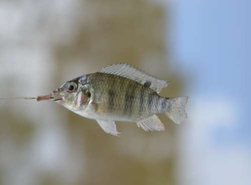 Fish Swim Small