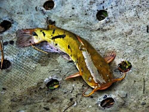 Fish American Catfish Nature Detail Harvesting