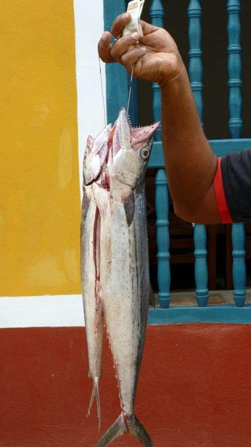 Fish Fishing Animal Cuba