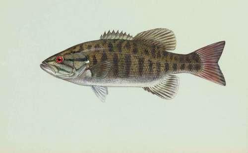 Fish Smallmouth Dolomieu Micropterus Bass Fishes