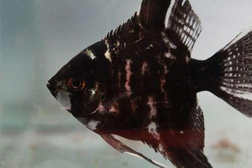Fish Black Fish Tank Aquarium