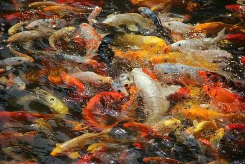 Fish Koi Hawthorn