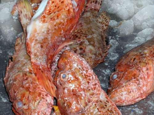 Fish Red Ice Fin Sea Caught Fang Market