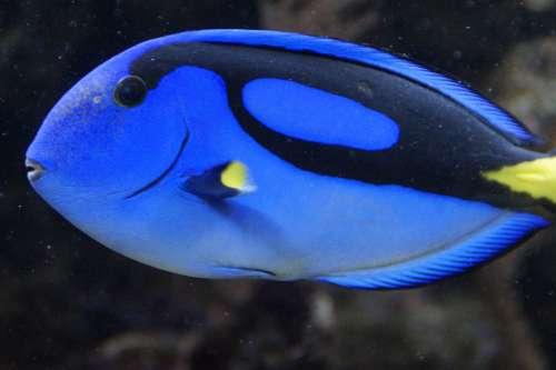 Fish Surgeonfish Blue Swim Aquarium Meeresbewohner