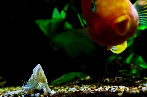 Fish Tank Fish Orange Skeleton Tank Gold Fish