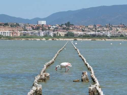 Flamingo Saline Quartu Sant'Elena Sardinia Water