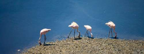 Flamingos Birds India Flock Water