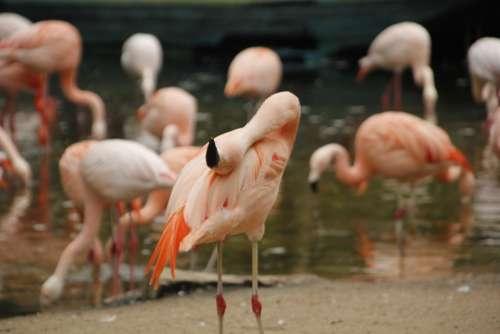 Flamingos Zoo Wildlife Animal Nature Pink