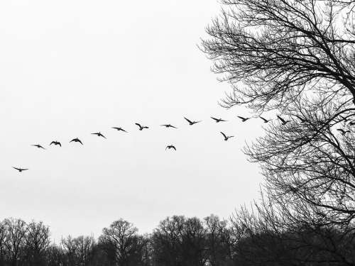 Flock Flocking Geese Birds Birds Flying Waterfowl