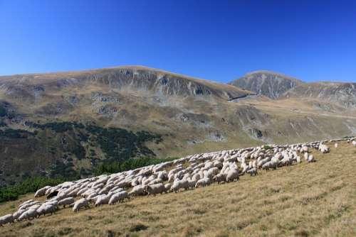 Flock Grazing Lambs Mountain Romania Sheep