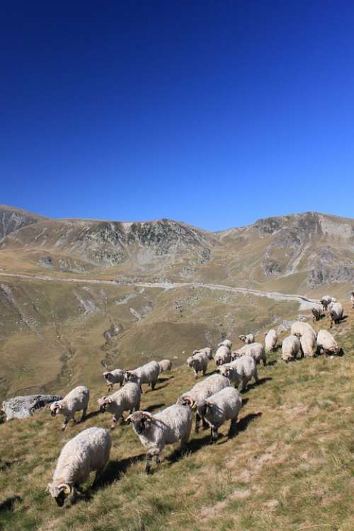 Flock Sheep Mountain Romania Animals Roads Travel