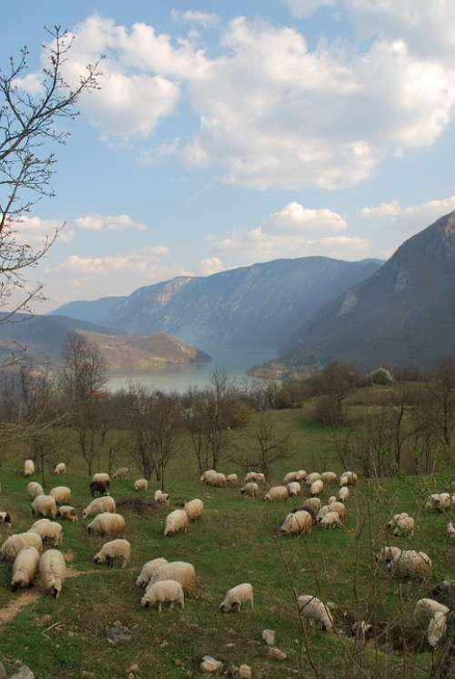 Flock Of Sheep Herd Of Sheep On The Drina Landscape