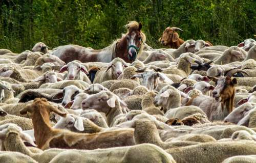 Flock Of Sheep Nature Pasture Agriculture