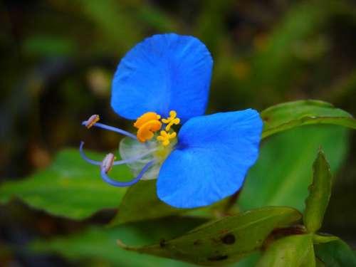 Flor Blue Nature Wild Garden Fragile Delicate