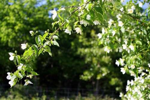 Floral Shrub Greenery Flowering Shrub