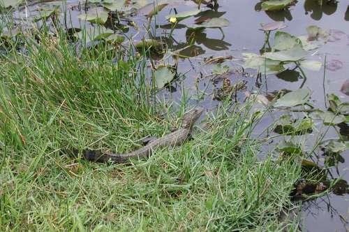 Florida Alligator Swamp Reptile Gator Water
