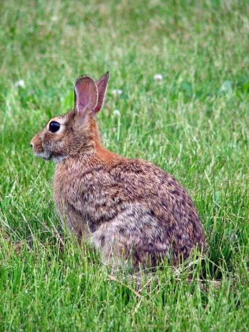 Floridanus Sylvilagus Animal Rabbit Bunny Animals