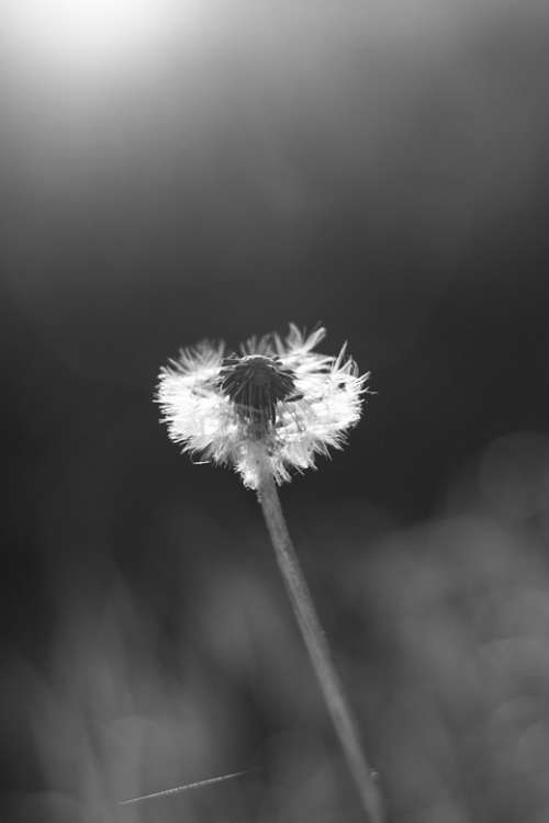 Flower Dandelion Black And White Nature Plant Seed