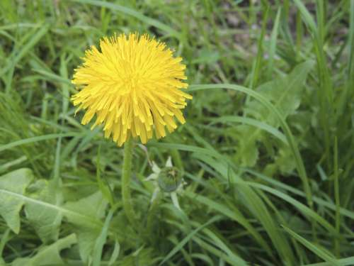 Blossom Bloom Yellow Dandelion Plant Grass Meadow