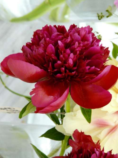 Flower Blossom Bloom Peony Red Spring