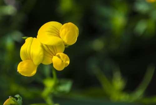 Flower Yellow Macro Wildflower Nature
