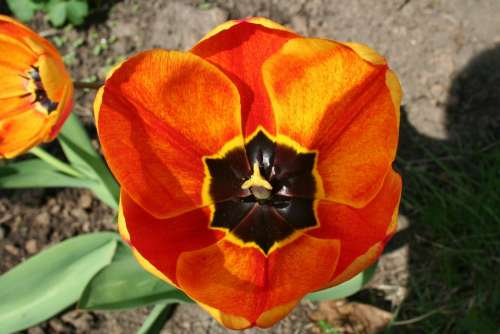 Flower Tulip Blossom Bloom
