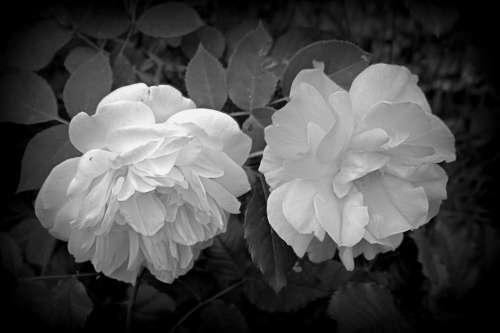 Flower Roses Black And White