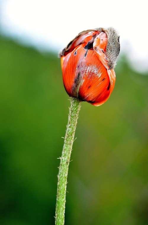 Flower Plant Blossom Nature Papaver Poppy Red