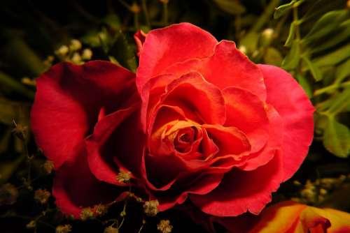 Blossom Bloom Rose Red