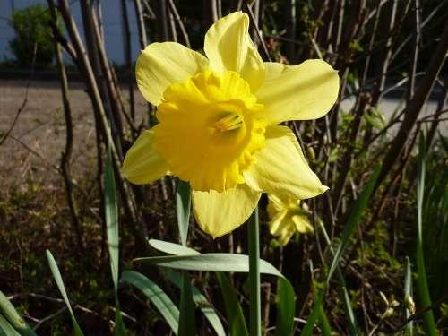 Flower Yellow Yellow Flower Plant Daffodil