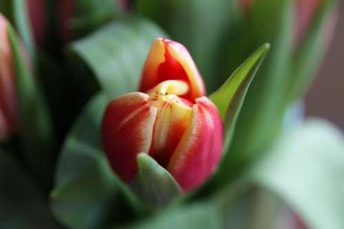 Blossom Bloom Tulip Plant Macro Nature Flower