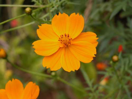Flower Orange Nature Flowers