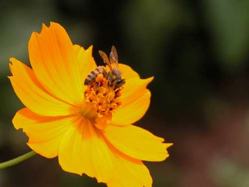Flower Bee Orange