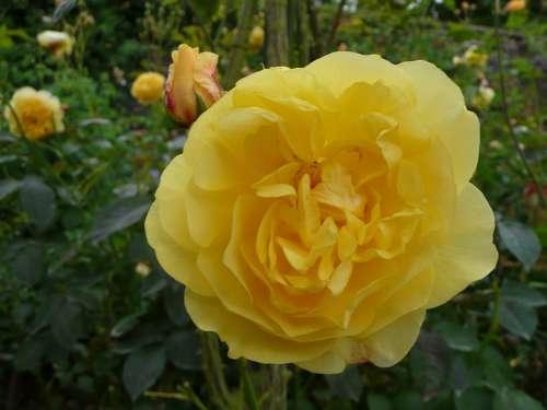 Flower Flowers Plant Rose Nature Roses Single