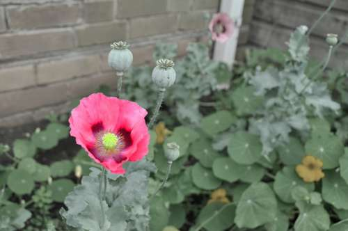 Flower Poppy Red