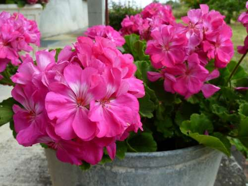 Flower Lilac Pink Flowers In Pots