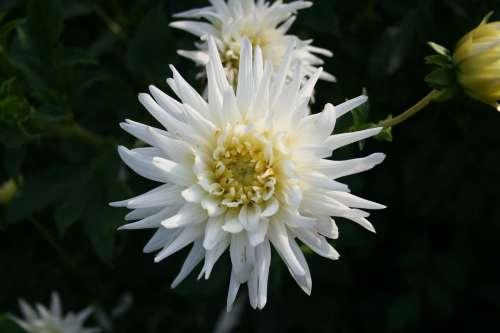 Flower Nature Plant Dahlia Ornamental Plant Bloom