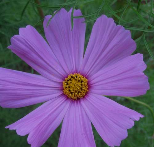Flower Bloom Wild Simple Pretty Daisy-Like Purple