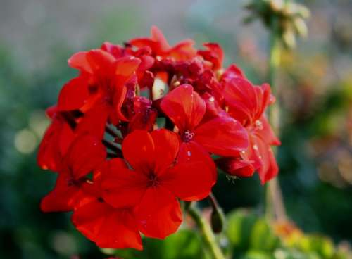 Flower Red Petals Dainty Soft Florets Stalk