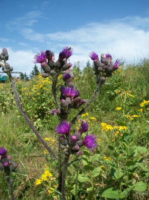 Flower Nature Plant Thistle