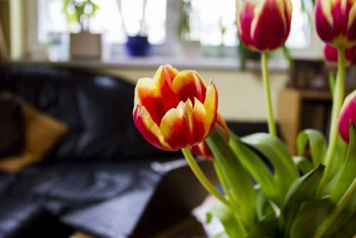 Flower Tulip Bloom Yellow Blossomed Colorful
