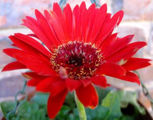Flower Daisy Baberton Red Petals Concentric