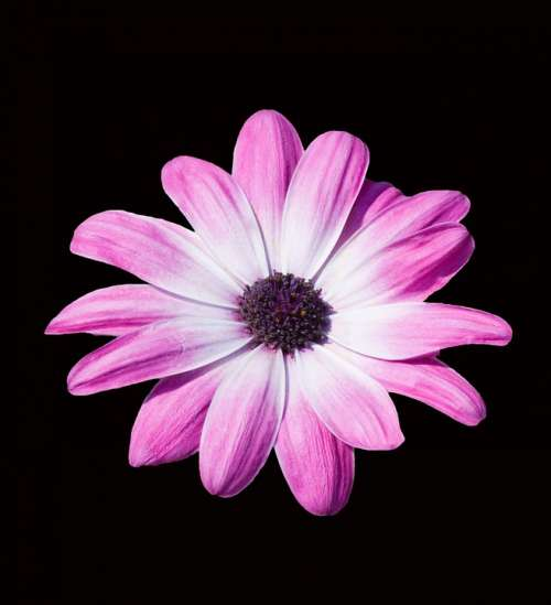Flower Beautiful Daisy Pink Purple Isolated Black