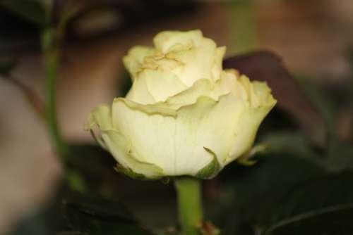 Flower Nature Plant Rose